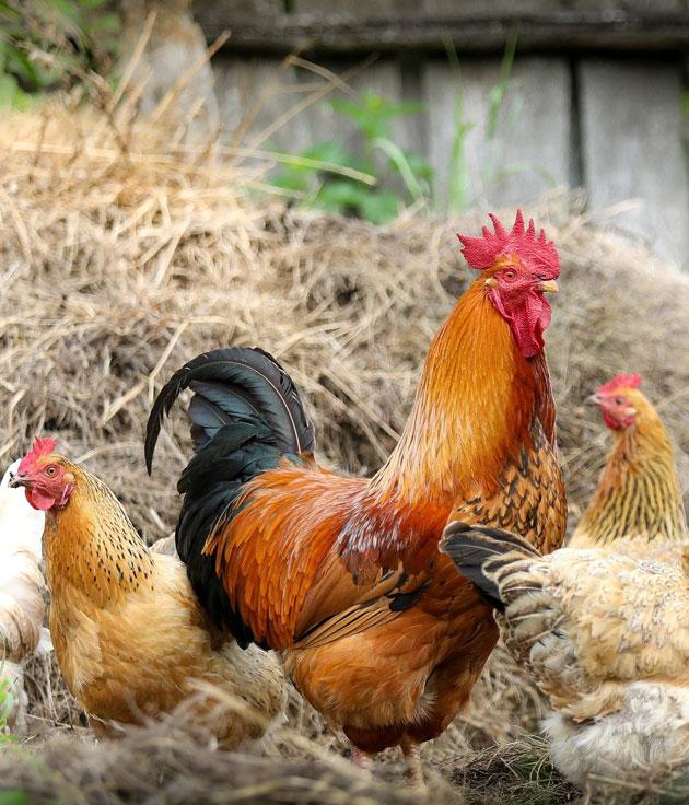 Sacrificio Halal de Aves